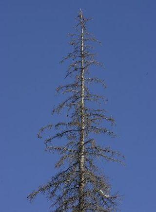 Pine-Beetles_2