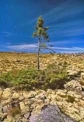 080414-oldest-tree_170